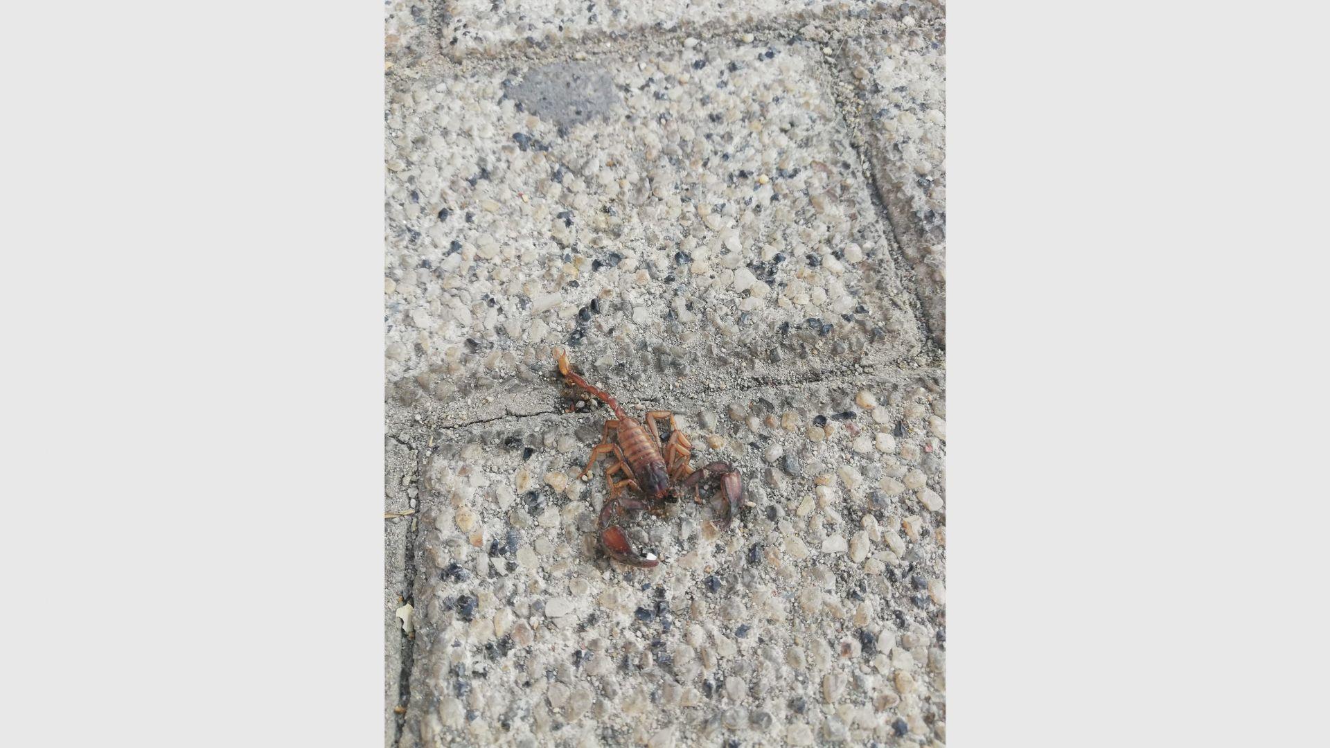 Нашествие от скорпиони в Пловдив