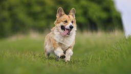 Коргито Лило е най-добрият баскетболист сред кучетата (видео)