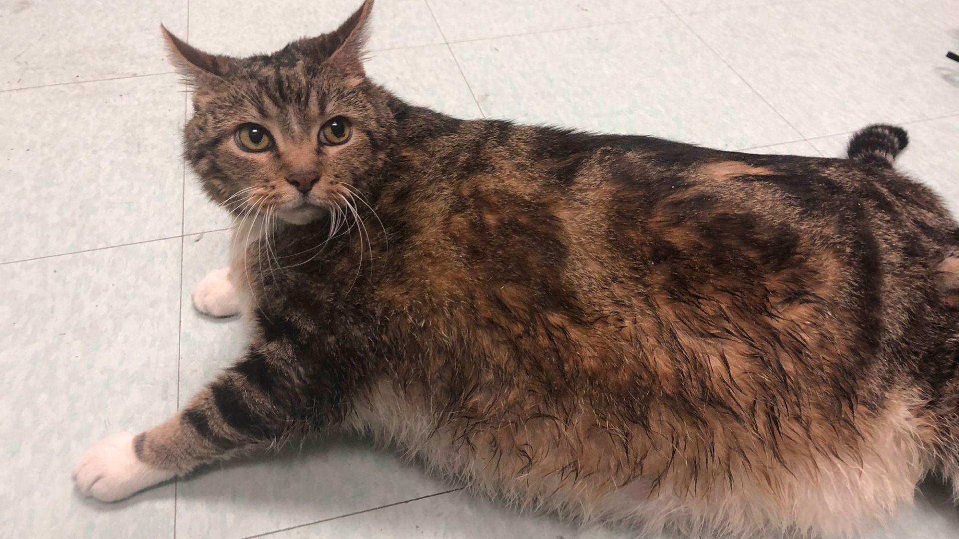 Котката Лазаня е подложена на диета и фитнес режим