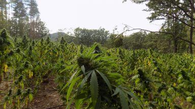 Полицията откри нива с над 5000 растения марихуана във Варненско (снимки)