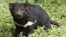 Дяволи на свобода! Тасманийският дявол се завръща в континентална Австралия след близо 3000 г.