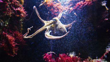 Октоподите чувстват и емоционална болка