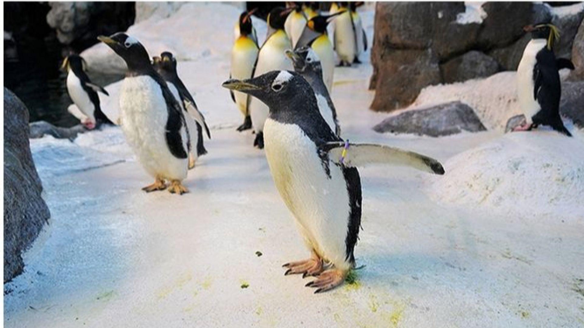Най-възрастният пингвин в света живее в датски зоопарк (видео)
