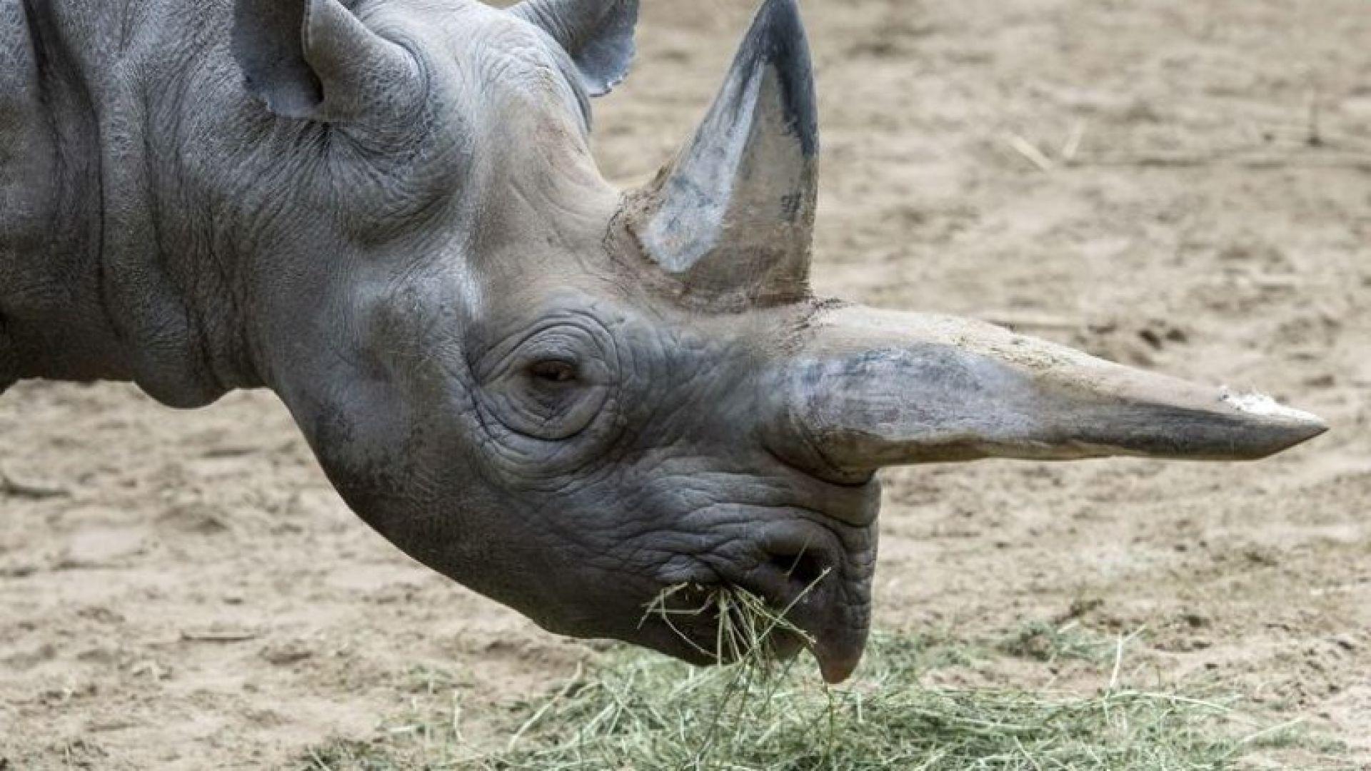 Почина най-възрастният черен носорог в света