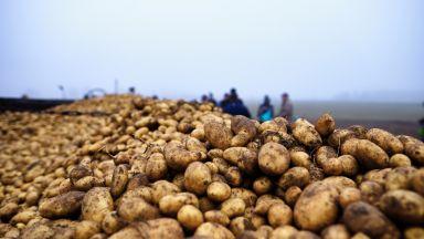Картофът е най-поевтиняващият зеленчук, цената на краставицата скача