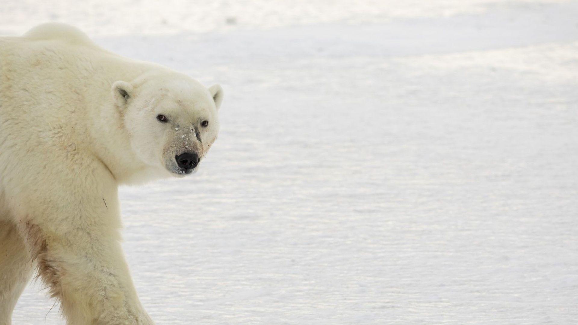 Гледай на живо белите мечки в Канада (видео)