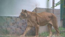 Проверяват защо е толкова слаба лъвицата Рая от зоопарка в Пазарджик