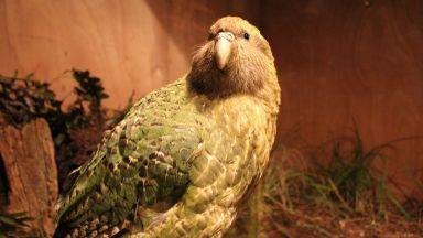 Папагалът какапо стана Птица на годината в Нова Зеландия