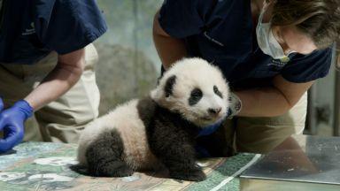 """Бебето панда в зоологическата градина във Вашингтон e """"Малко чудо"""""""