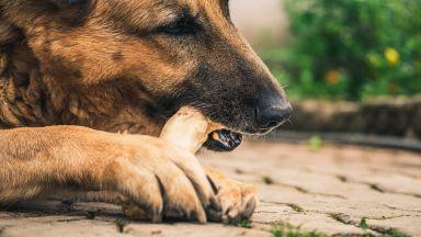 Мит №1 - кучето трябва да яде кокали - всъщност крие сериозен риск за живота му
