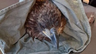 Спасиха млад морски орел край ямболско село