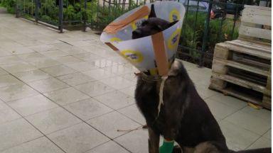 Барс - единственото у нас куче за борба с отровите, се възстанови след тежко изпитание