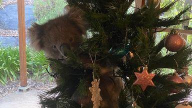 Австралийка намери коала в коледното си дърво