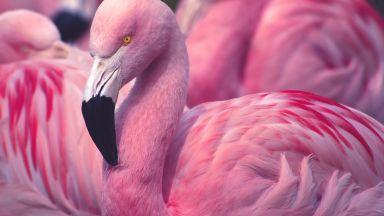 Розовото фламинго вече не отлита от Турция през зимата