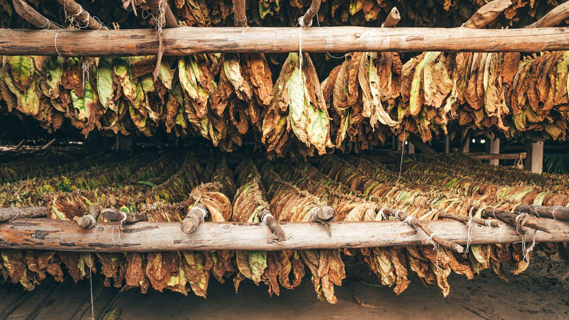 Тютюнът в страната ще бъде изкупен до края на януари: какви са изкупните цени?