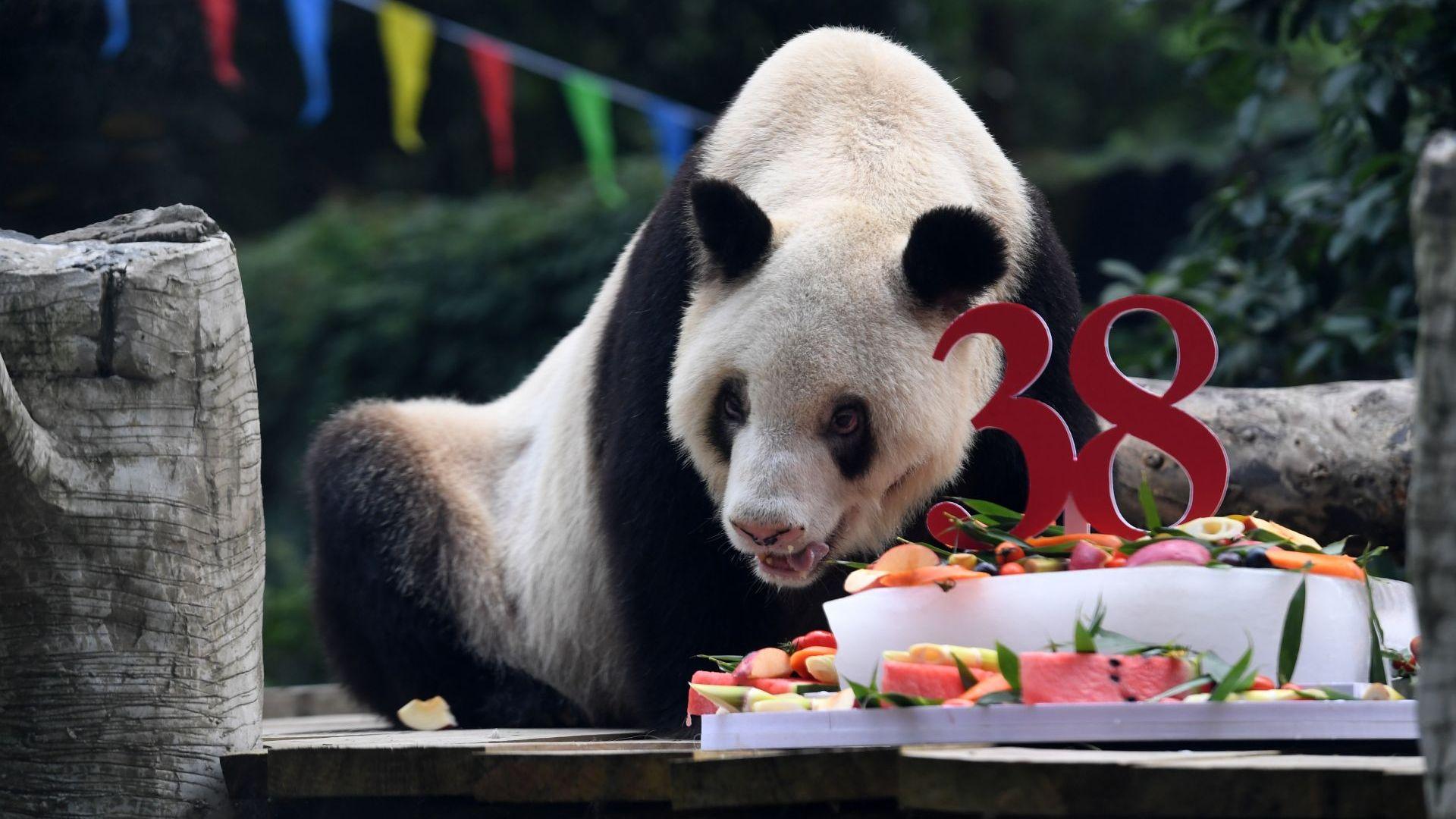 Най-старата панда в света почина на 38 години