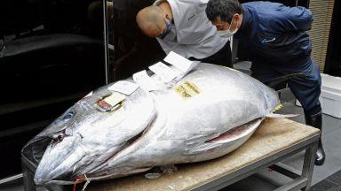 Огромна риба тон бе продадена на търг за 202 000 долара (снимка и видео)