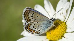 Броят на много  видове пеперуди е намалял 40 процента за 30 години