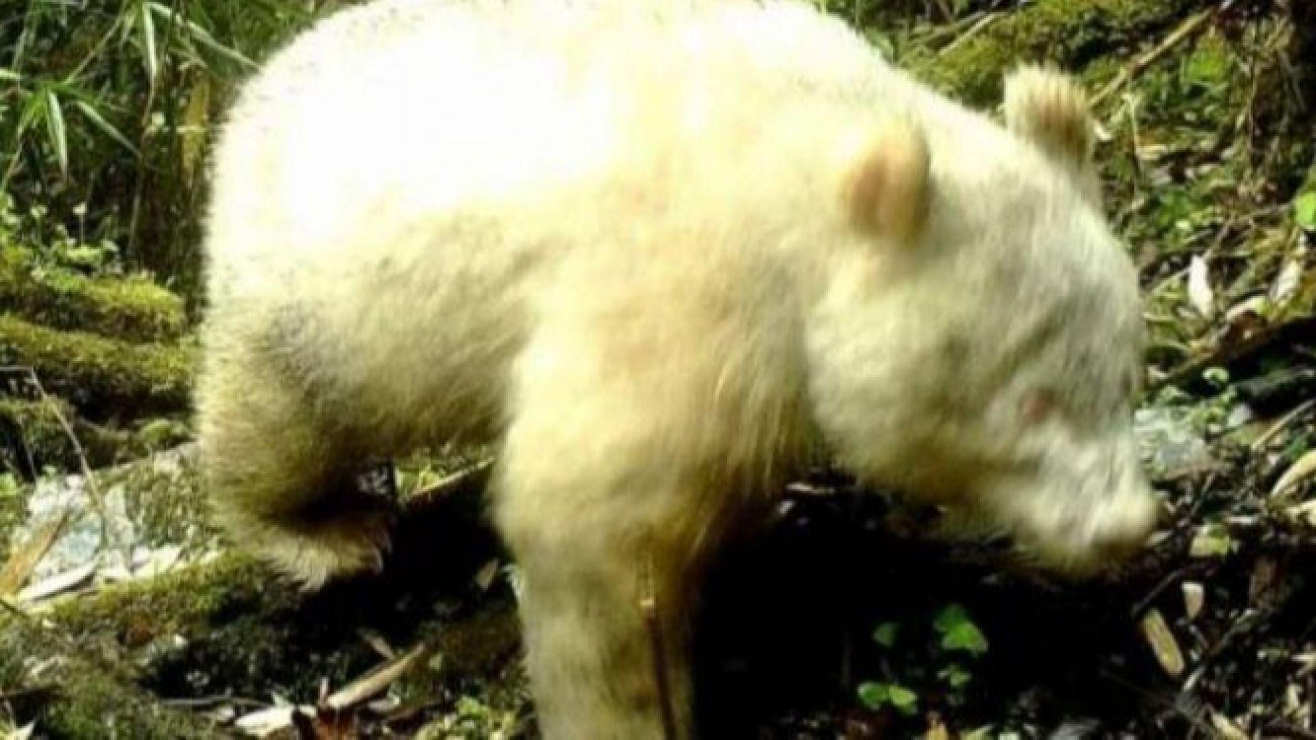 Появиха се кадри с първата панда албинос в света