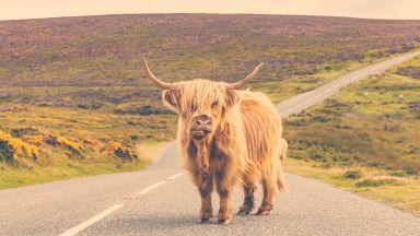 Шотландия напомня на туристите за себе си с кампания с крави