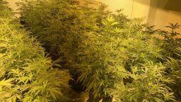 Откриха оранжерия за марихуана във Варна