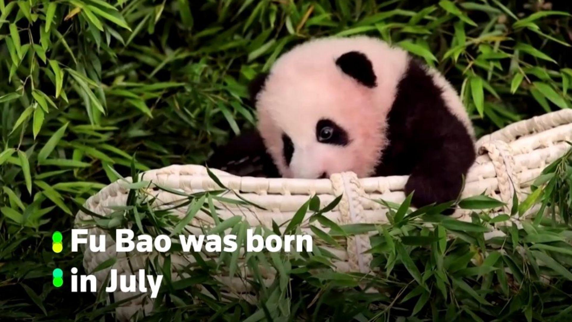 Бебе панда, което се държи за крака на гледача си, разнежи мрежата (видео)