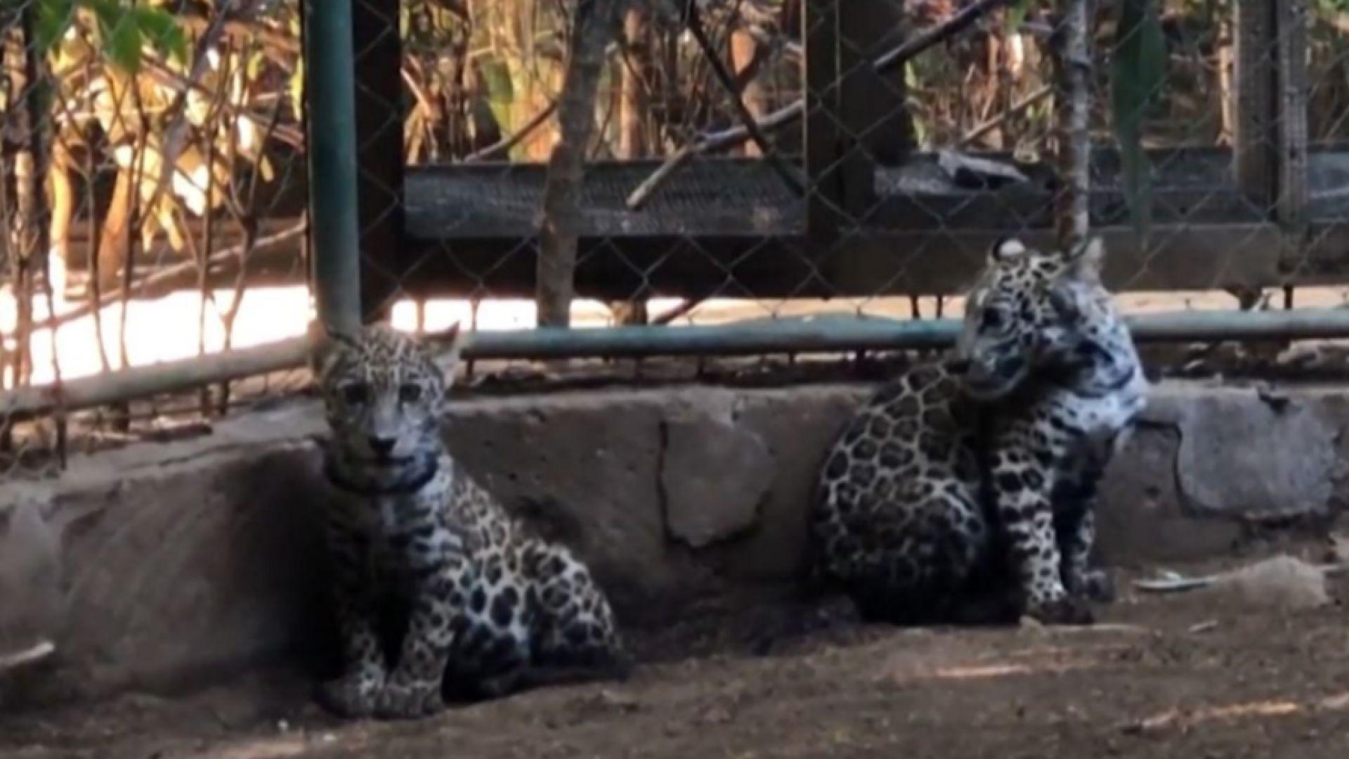 Две ягуарчета бяха спасени от бракониери