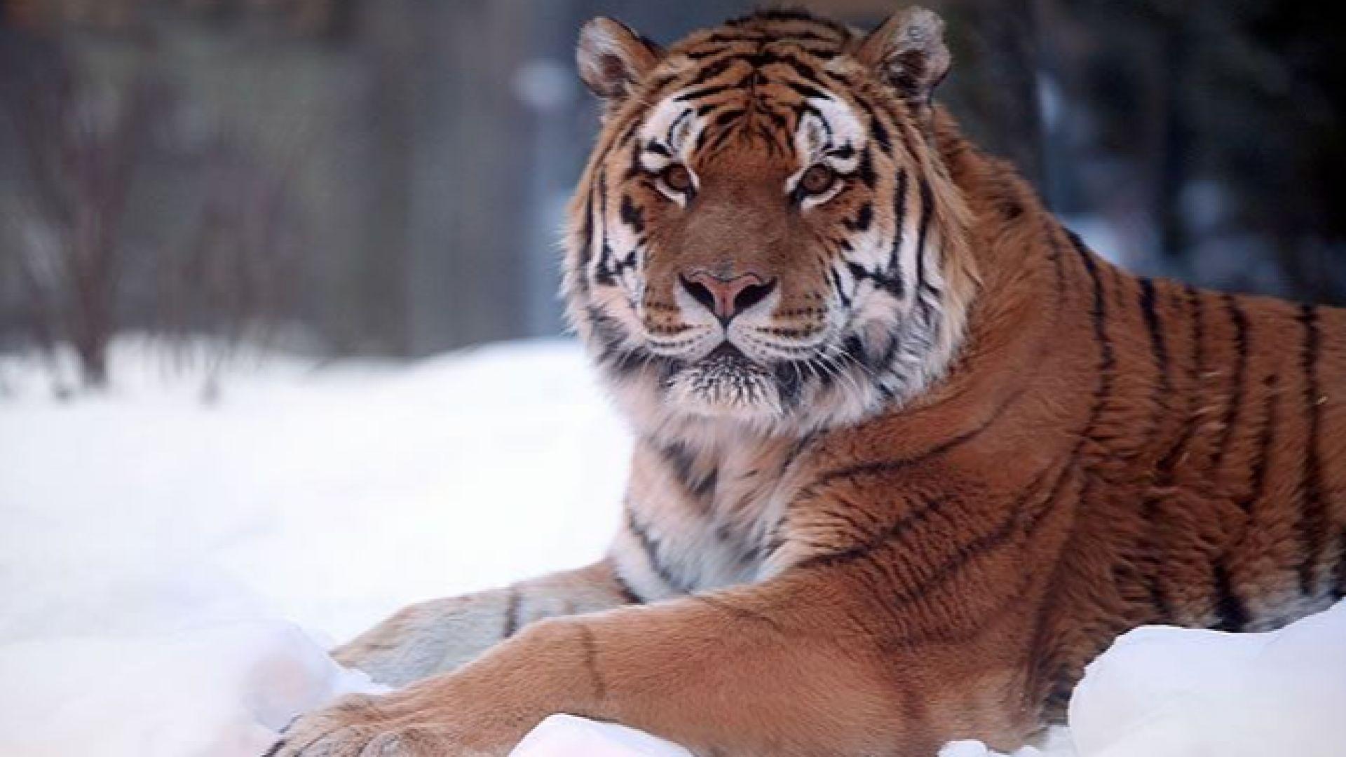 В Русия застреляха амурска тигрица, отхапала глава на човек