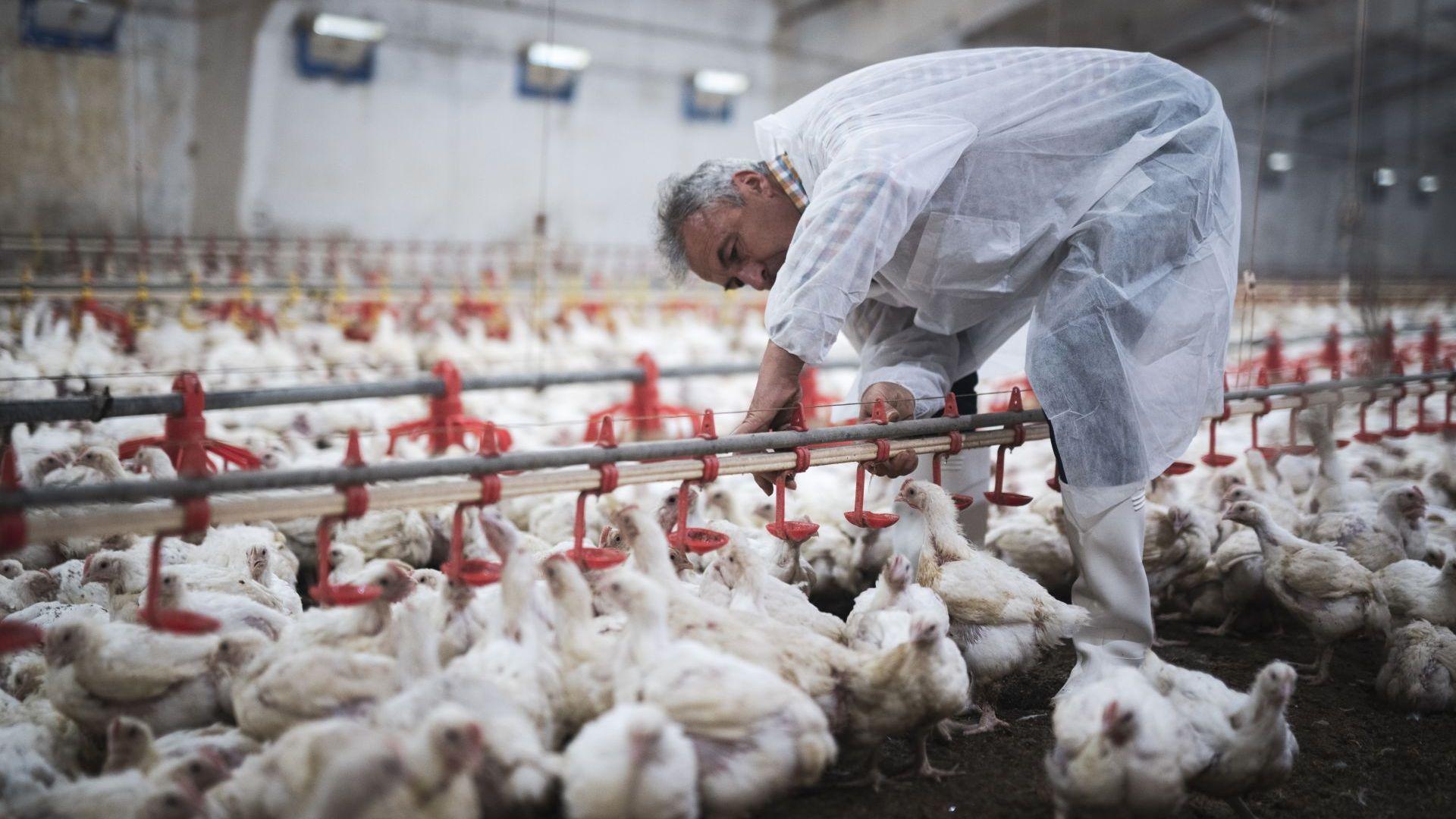 Унищожават близо 100 хил. птици в Славяново заради птичи грип