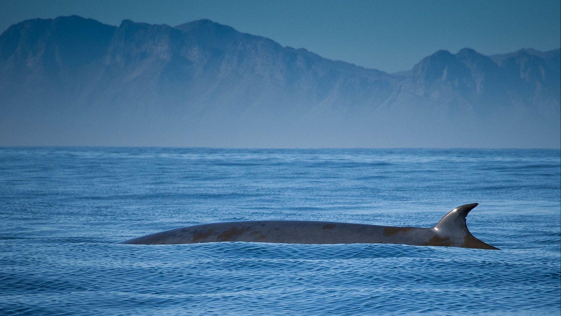 Нов вид китове е открит в САЩ