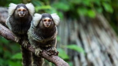 Маймуни подслушват роднините си