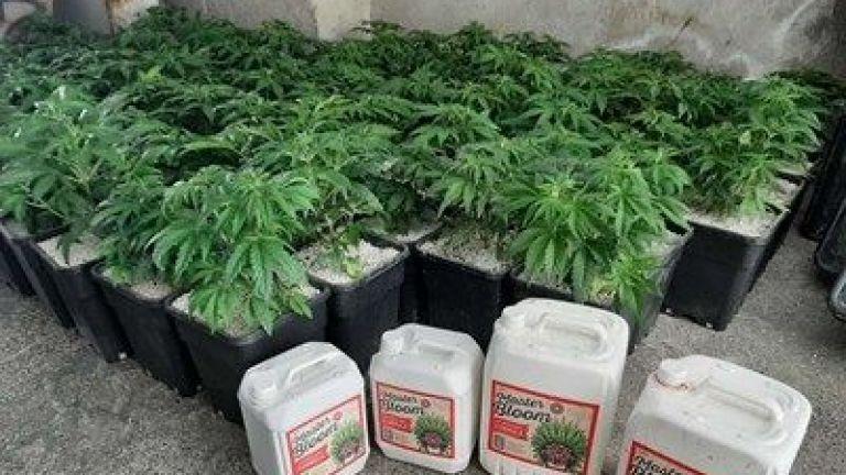 Близо 100 саксии с марихуана са открити в таванско помещение