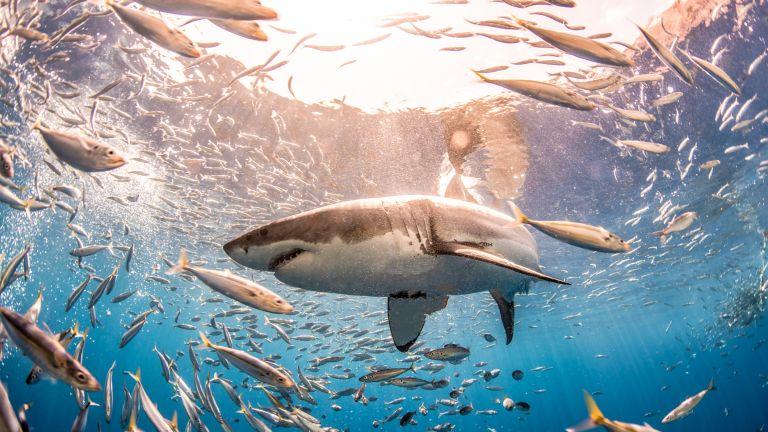 """Климатичните промени """"преселват"""" белите акули в нови местообитания"""