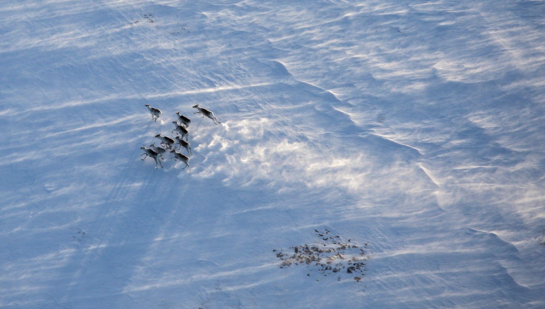 Стадо елени в зимната пустош