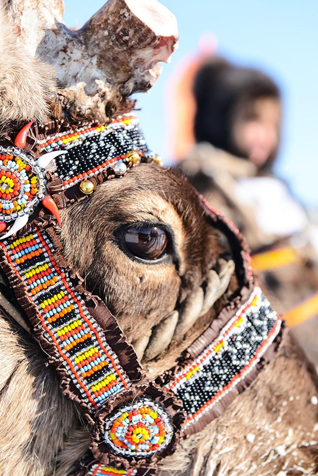 Местните украсяват с шевици и мъниста поводите на елените