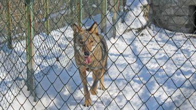 Вълчица избяга от зоопарка в Хасково
