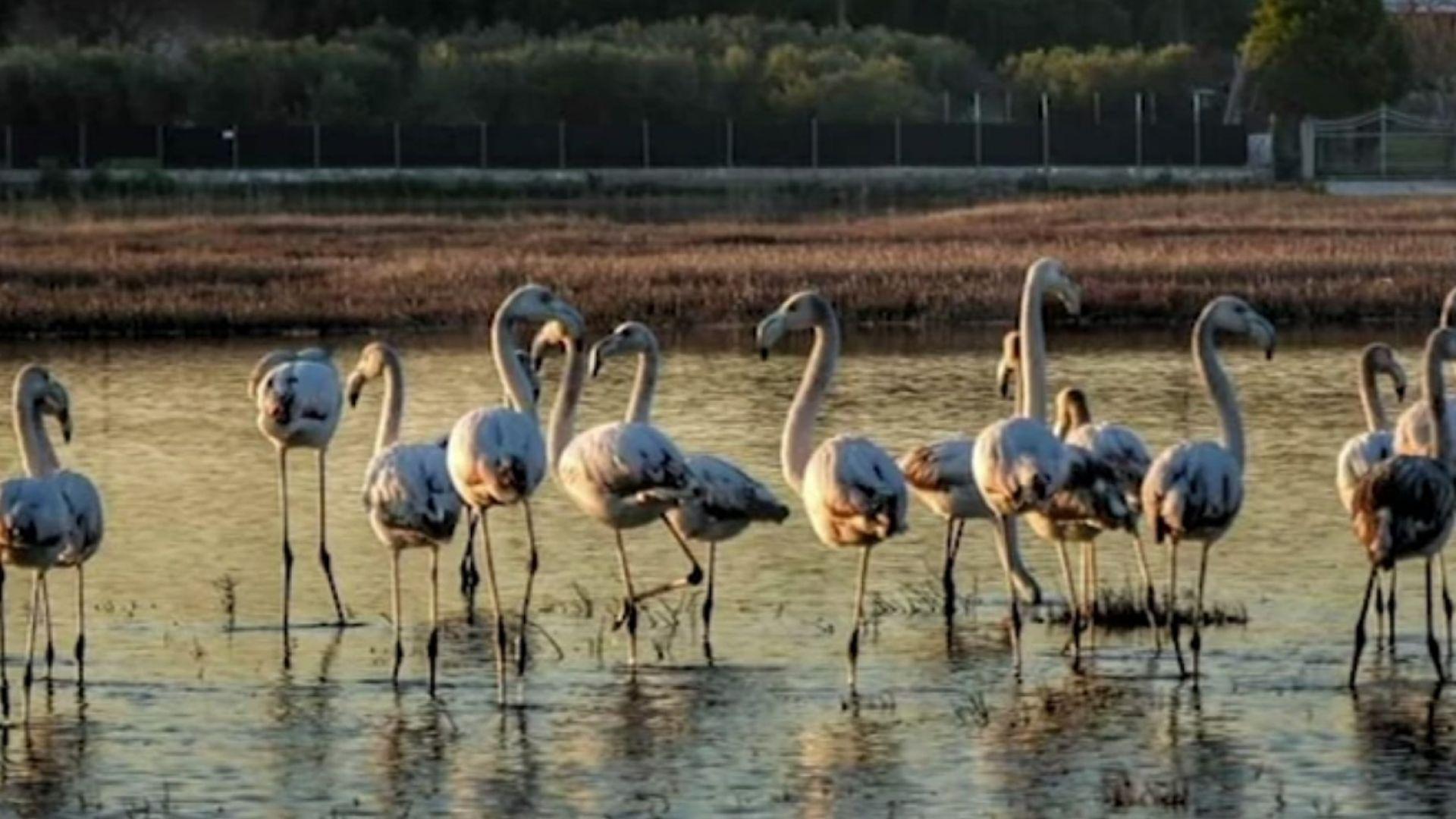 Десетки фламинги са отровени на Халкидики, погълнали ловни сачми (видео)