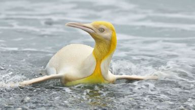 Удивително: Фотограф засне жълт пингвин