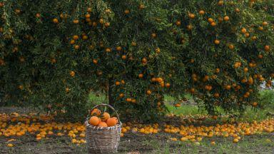 Ток от портокали: Как го правят в Испания