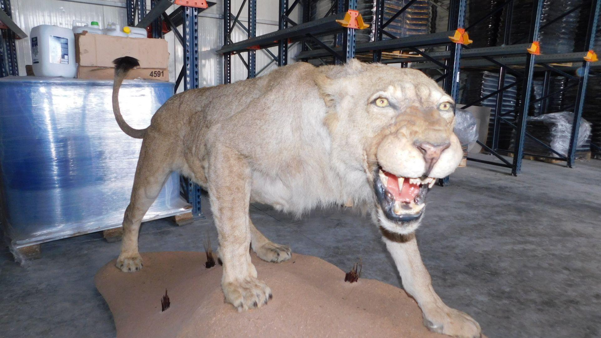 Намериха препариран лъв в склад край Разград