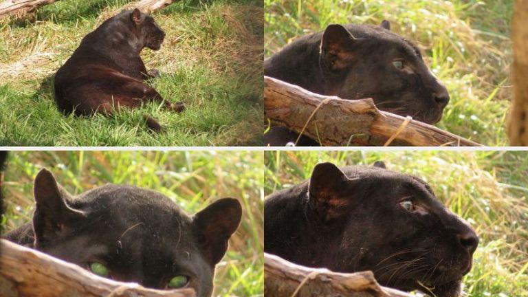 Почина Окичуко - черната пантера в Софийския зоопарк, любима на