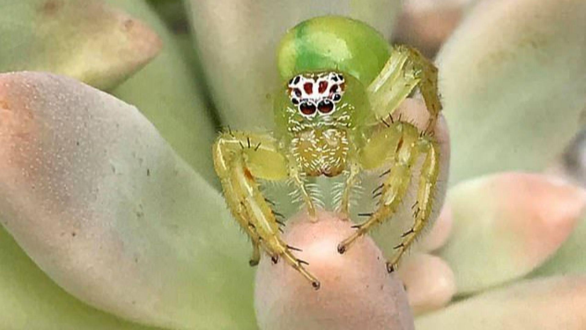 """В Австралия беше открит """"най-сладкият"""" паяк"""
