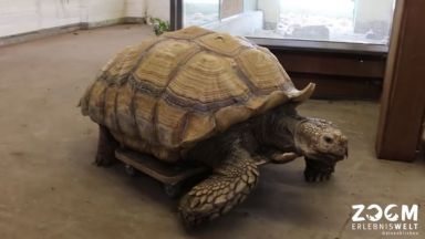 Терапия на колела помага на костенурката Хелмут