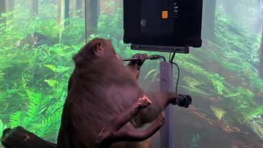 Инвалид с мозъчен имплант предизвика маймуната с чипа Neuralink
