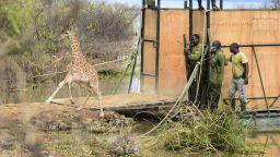 Спасиха девет жирафа от потъващ остров в Кения