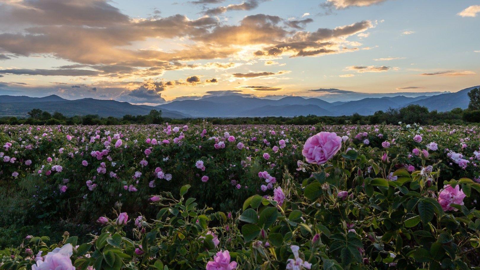 Цъфнали рози в Розовата долина през май