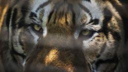 Починаха два сибирски тигъра в зоопарка в Стара Загора