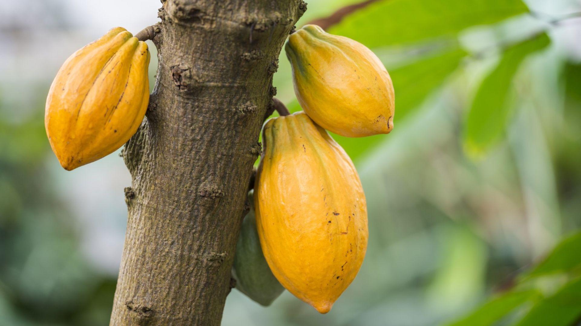 В битката за какаото отново победи Голиат