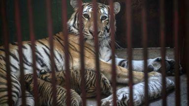 Четири бенгалски тигърчета, сред които бебе с рядък бял цвят, се родиха в зоопарк в Хавана