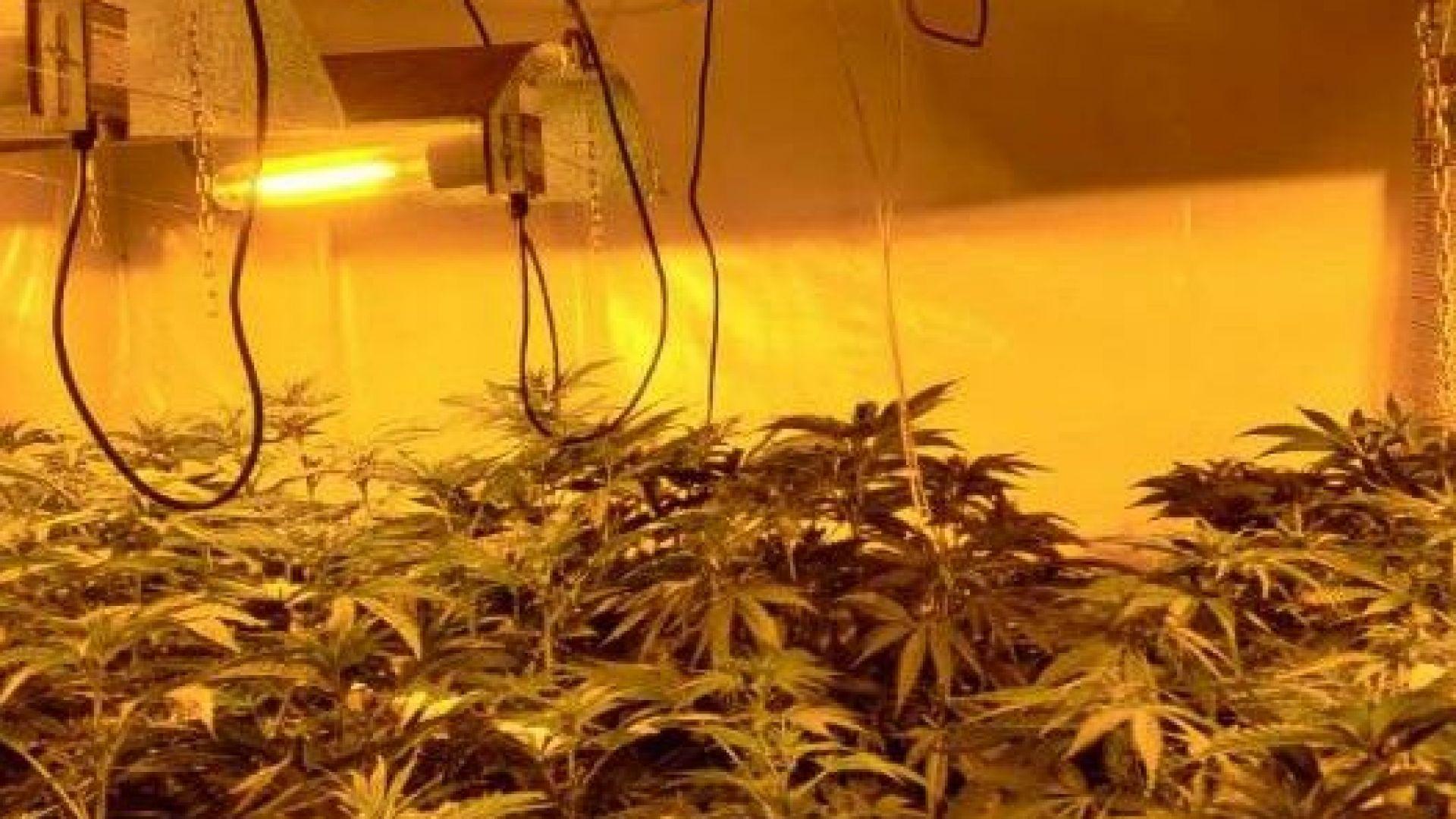 Откриха високотехнологична оранжерия за марихуана в Перник (снимки)
